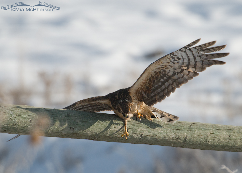 Northern Harrier slipping on fence while regurgitating a pellet