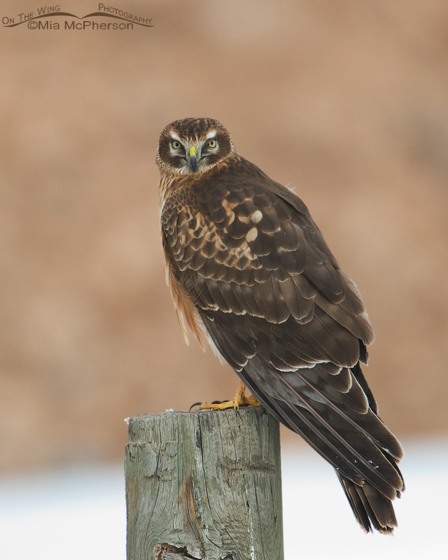 Perched Northern Harrier