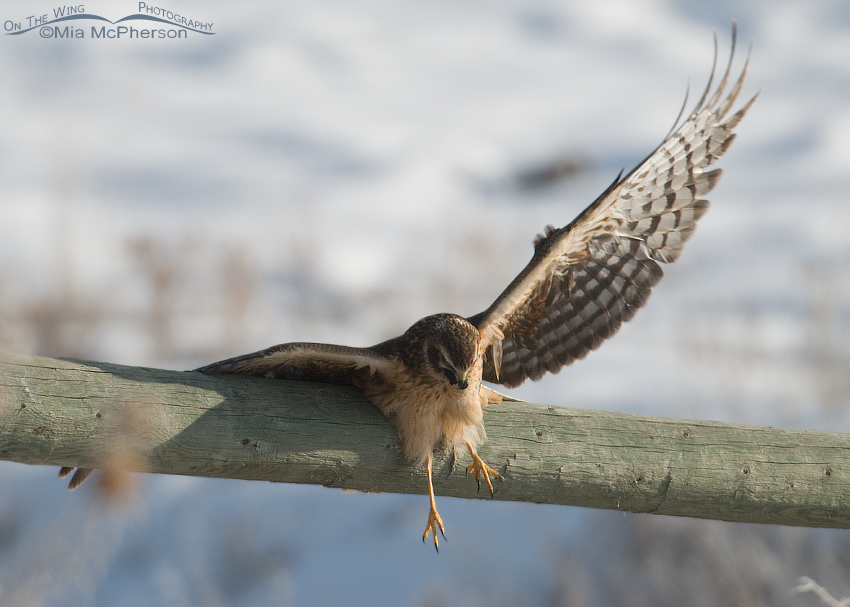 Northern Harrier almost falling