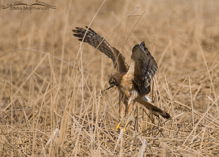 Female Northern Harrier touching down