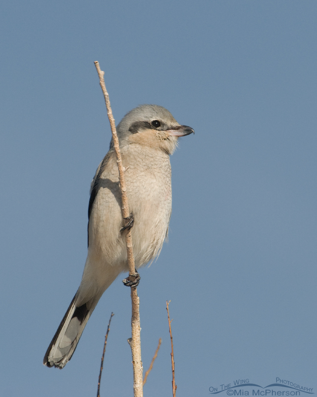 Northern Shrike on a cold Utah day