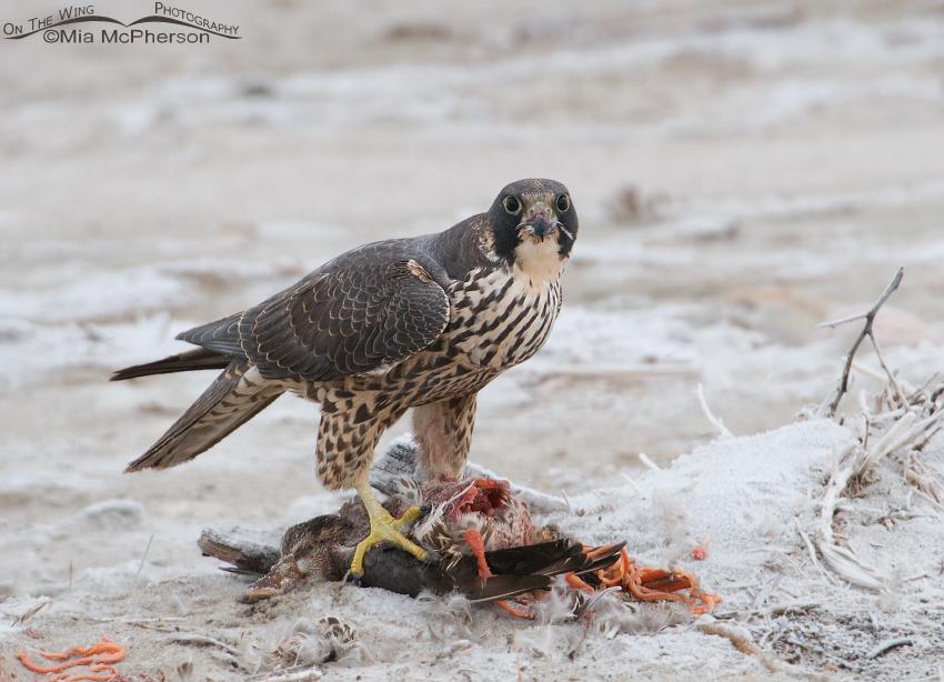 Peregrine Falcon (Falco peregrinus) on prey