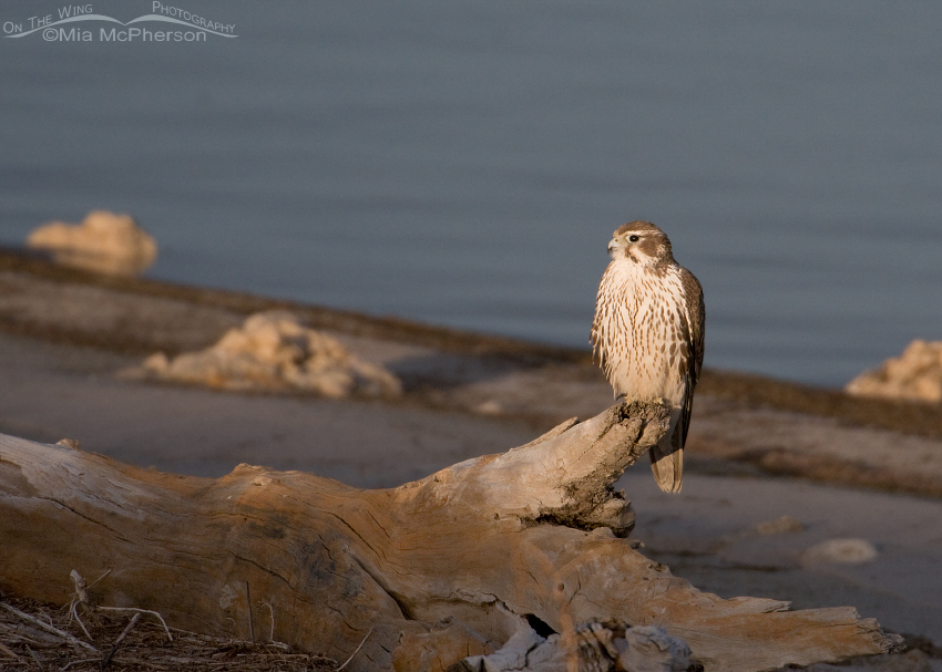 Juvenile Prairie Falcon (Falco mexicanus) in early morning light