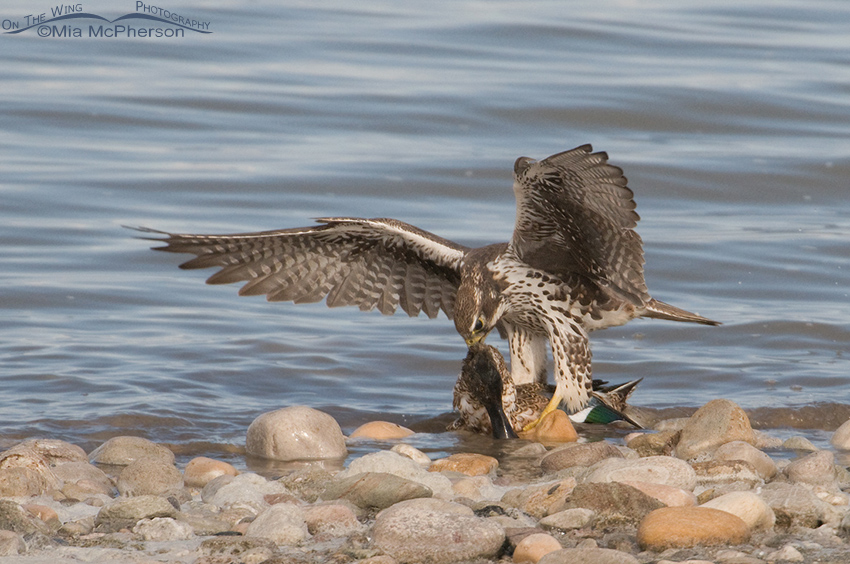 Prairie Falcon tearing into the neck of the Northern Shoveler