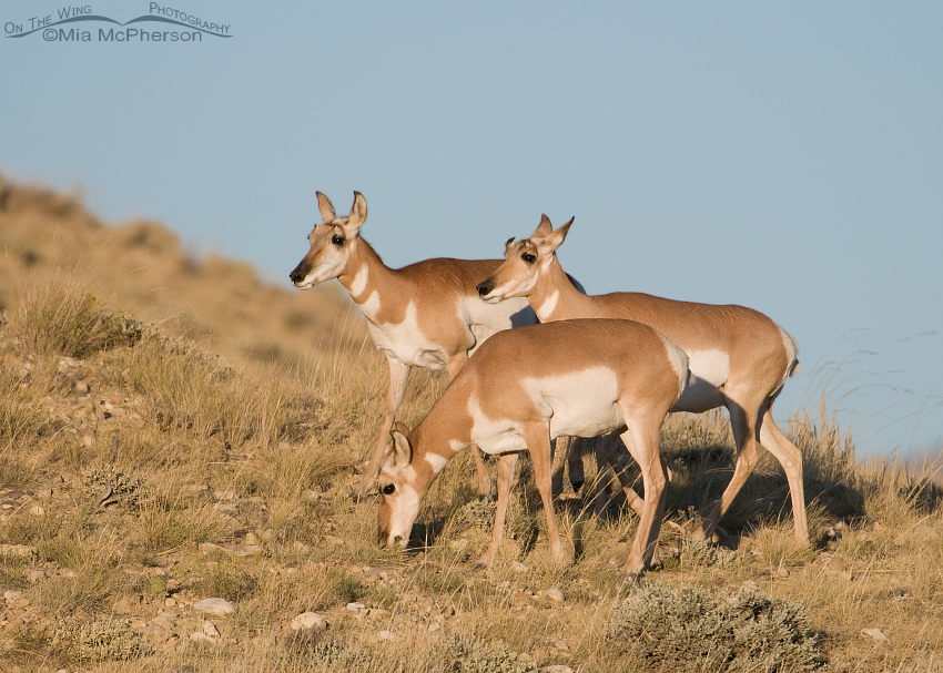 Pronghorn does on a hill in evening light