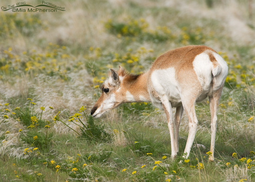 Female Pronghorn feeding on Gray's Biscuitroot