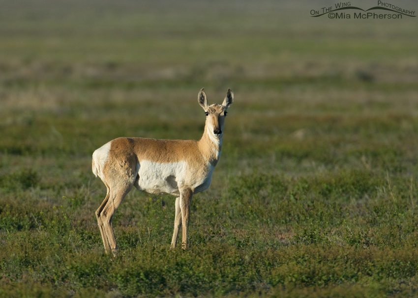 Adult Pronghorn doe in the vegetation