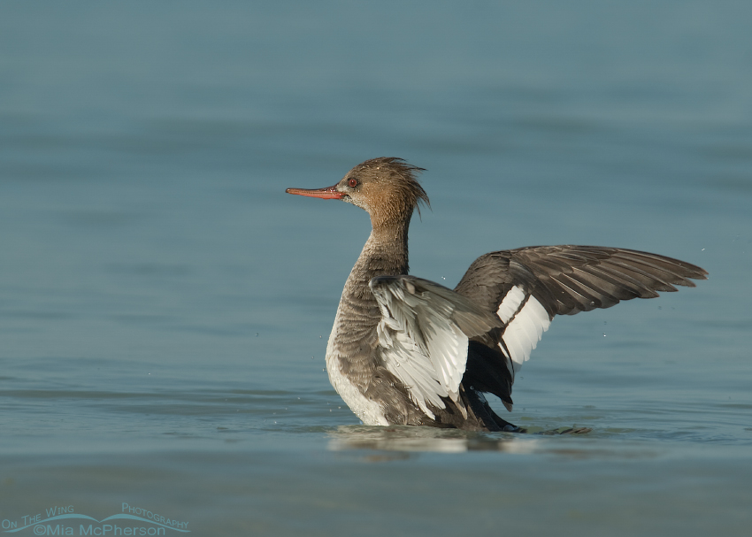 Red-breasted Merganser (m) on the Gulf of Mexico