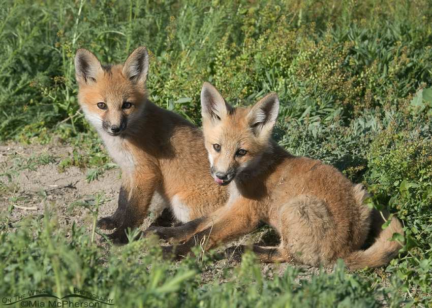 A pair of Red Fox kits