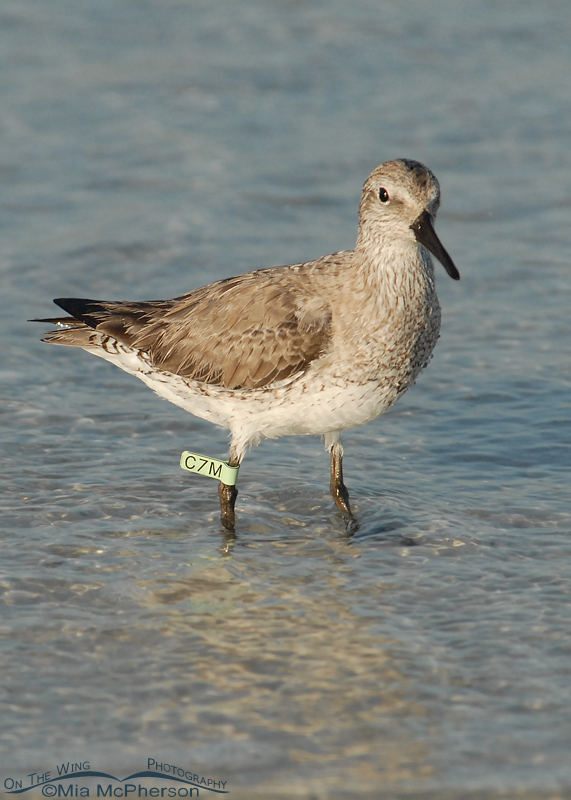 Banded Red Knot