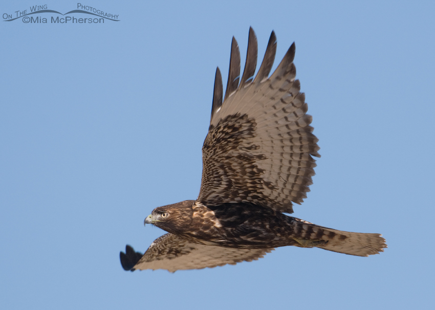 Dark juvenile Red-tailed Hawk fly by
