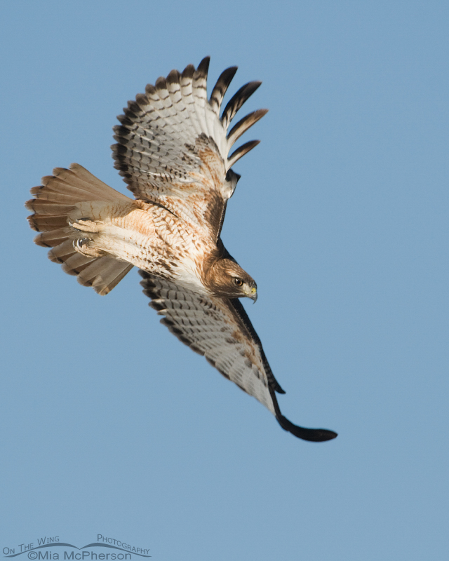 Red-tailed Hawk in a dive