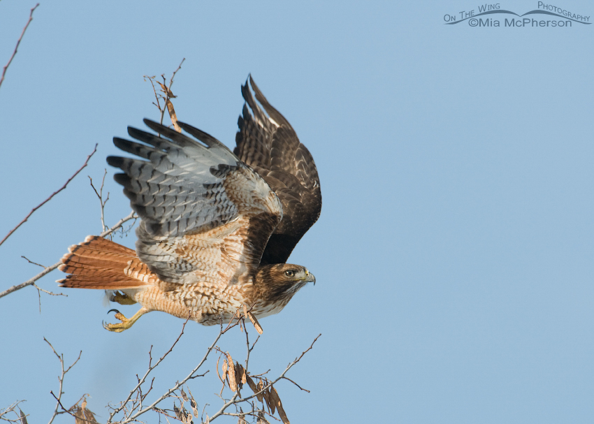 Red-tailed Hawk immediately after lift off