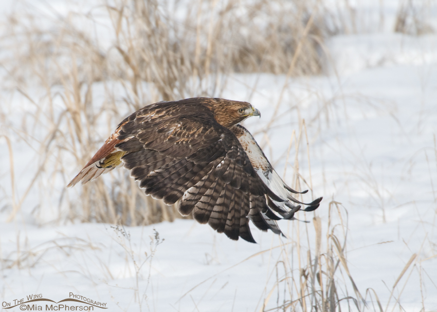 Red-tailed Hawk on a winter day