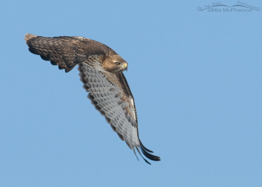 Red-tailed Hawk in Utah County