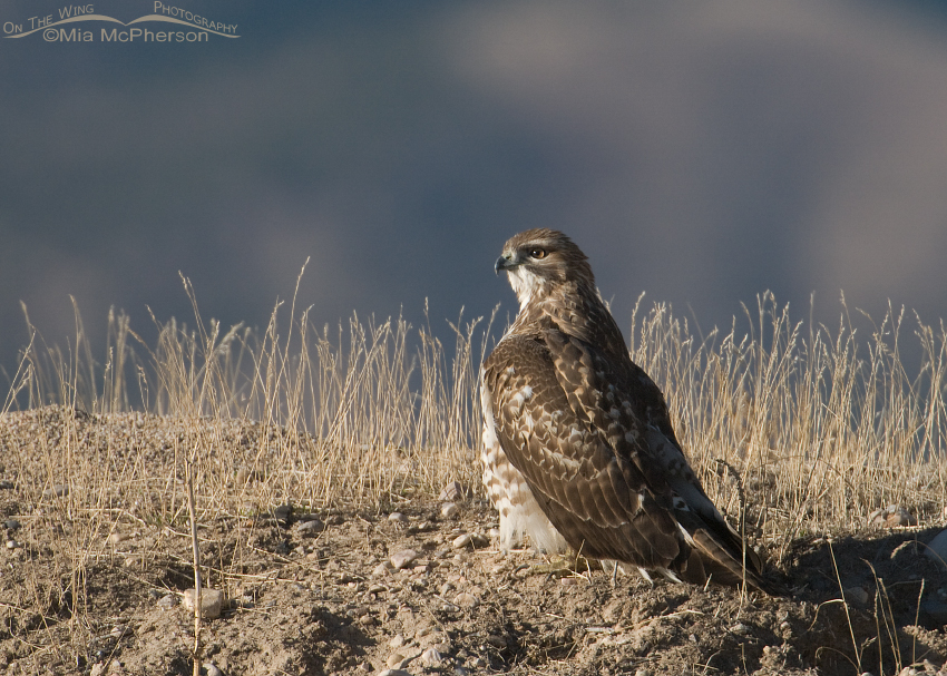 Red-tailed Hawk on the ground with the Oquirrh mountains in the background