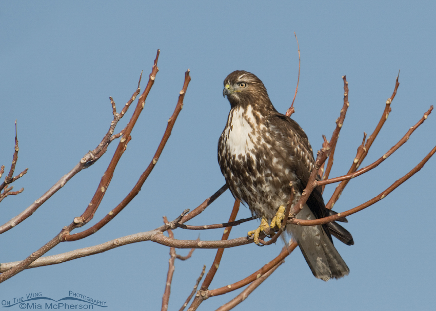 Red-tailed Hawk perched in a tree