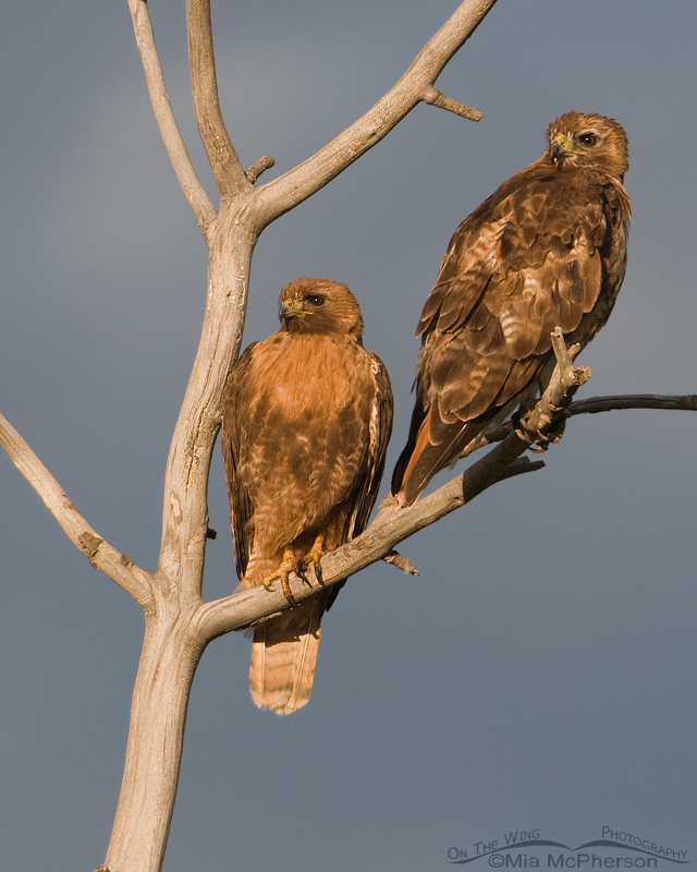 Red-tailed Hawks - Mates for Life