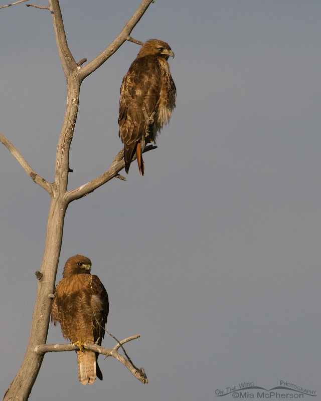 Centennial Valley Red-tailed Hawks