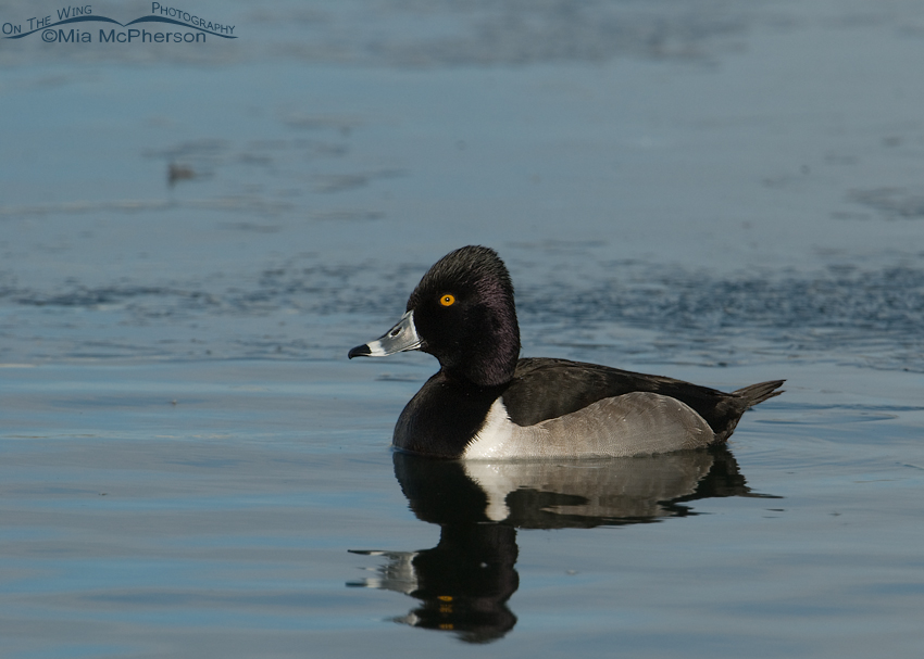 Ring-necked Duck on icy pond