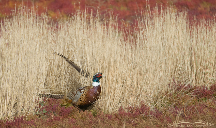 Ring-necked Pheasant male in autumn grasses and pickleweed