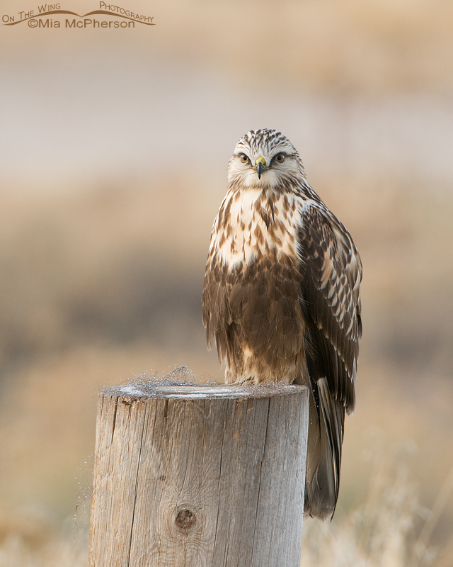 Rough-legged Hawk perched on a post