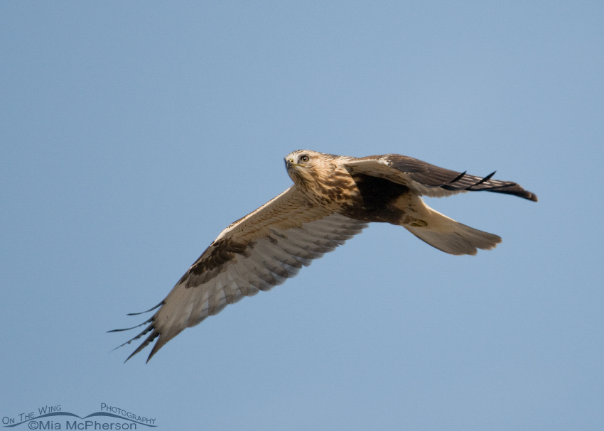 Close fly by from a Rough-legged Hawk