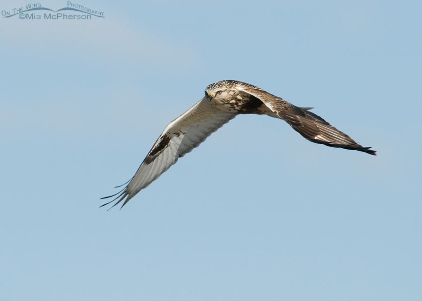 Rough-legged Hawk fly by