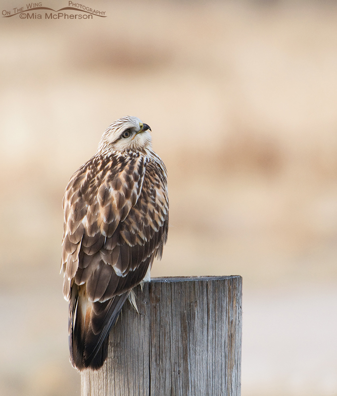 Rough-legged Hawk keeping an eye on the sky