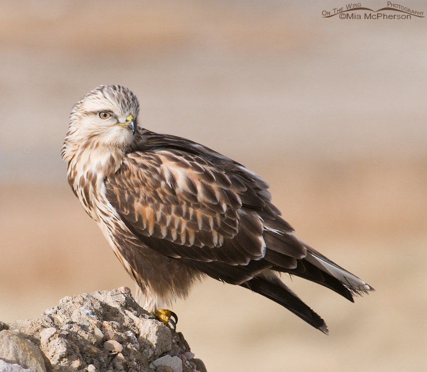 A Rough-legged Hawk Looking Pretty