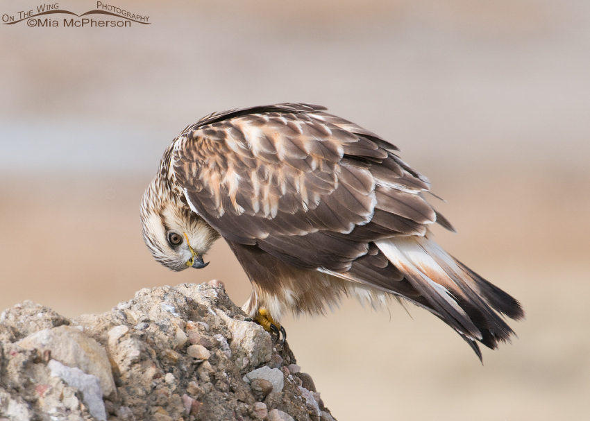 Rough-legged Hawk looking at its feet