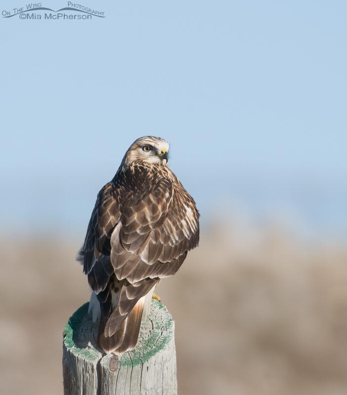 Perched Rough-legged Hawk
