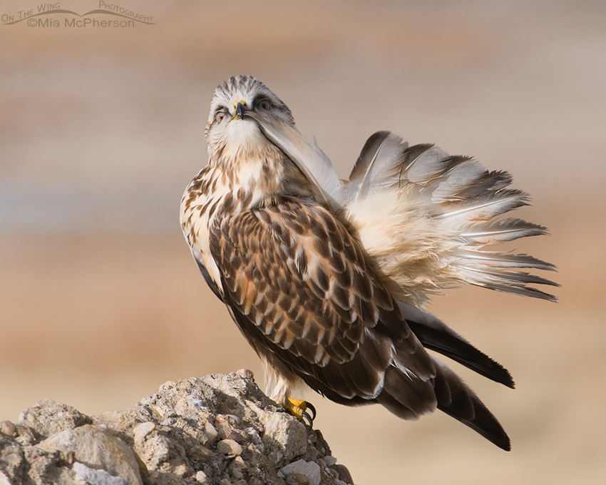 Rough-legged Hawk Preening