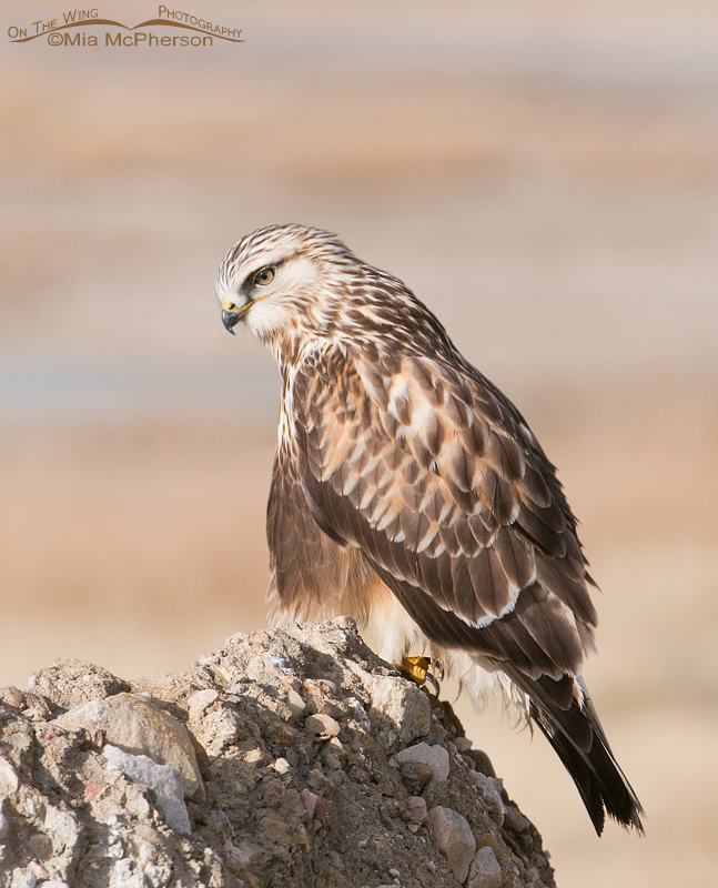 Rough-legged Hawk side view