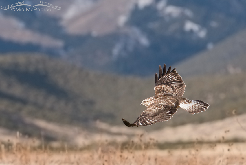 Rough-legged Hawk in flight with the Stansbury Mountains in the background