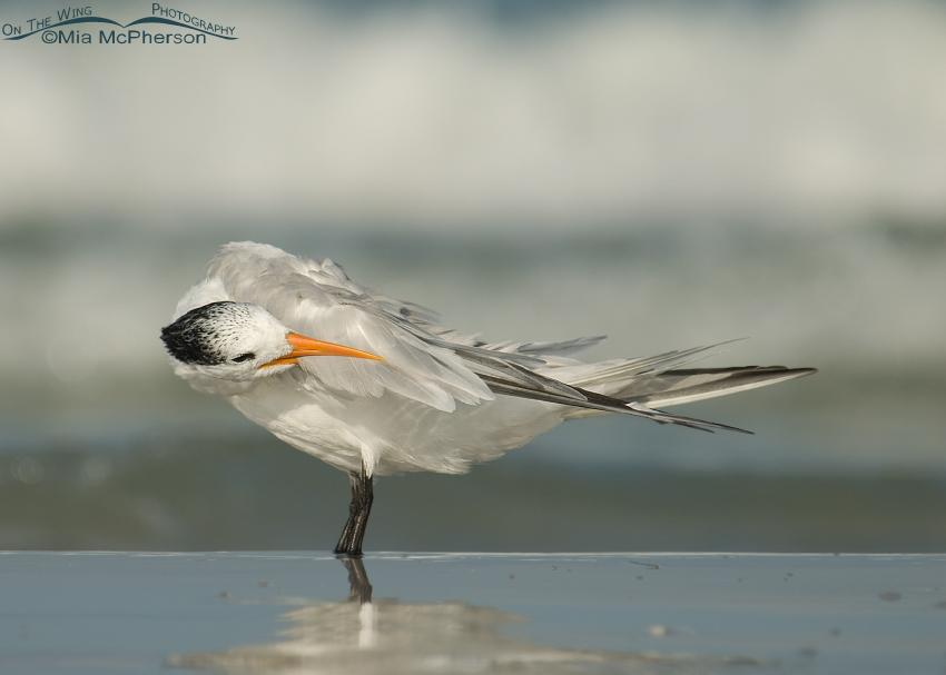 Royal Tern busy preening