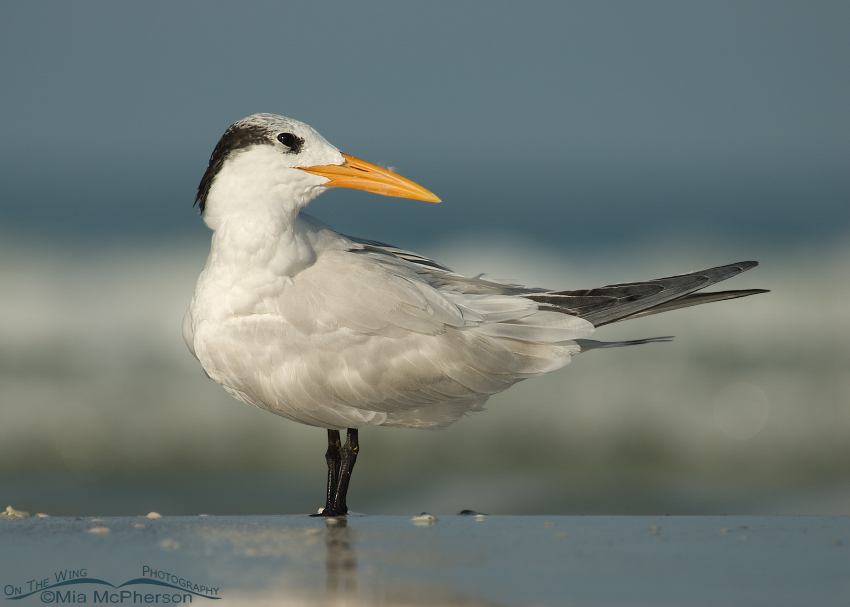Royal Tern (Thalasseus maximus):  You lookin' at me?