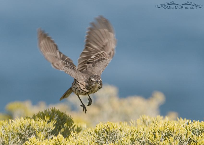 Sage Thrasher in flight