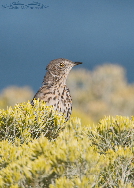 Sage Thrasher tucked behind the flowers