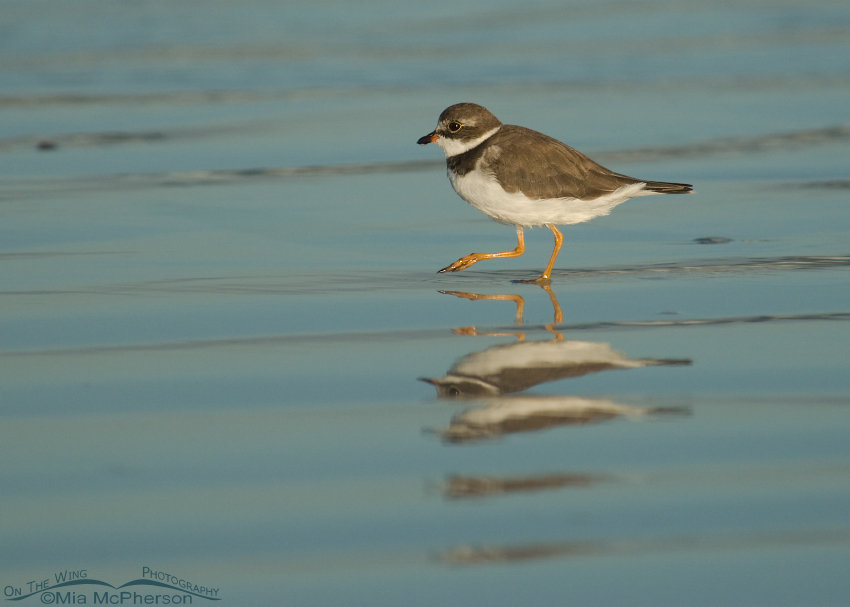 Low angle Semipalmated Plover adult