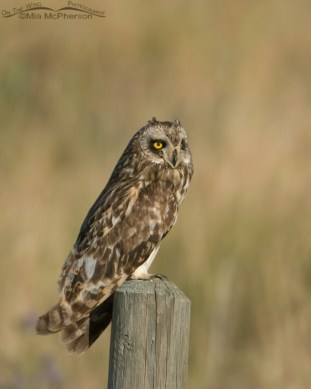 A surprise Short-eared Owl