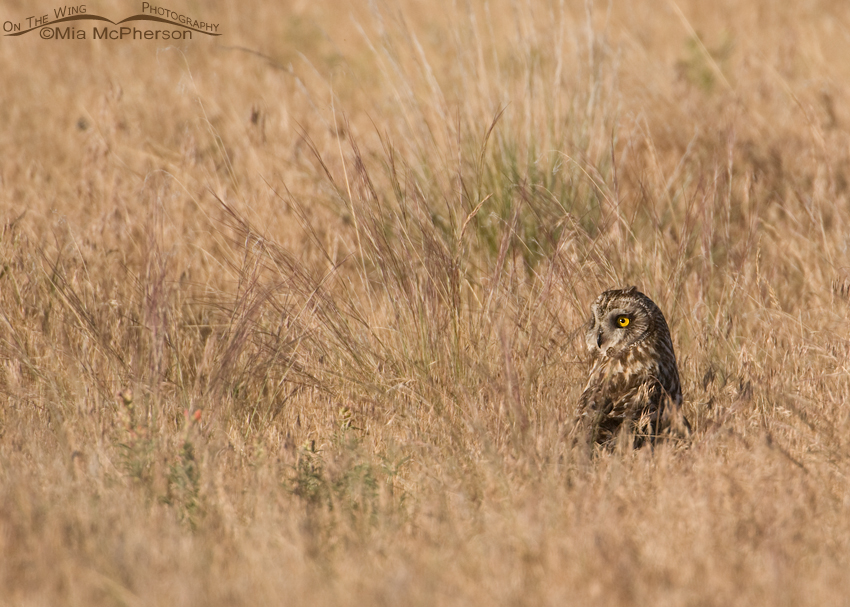 Female Short-eared Owl in grasses