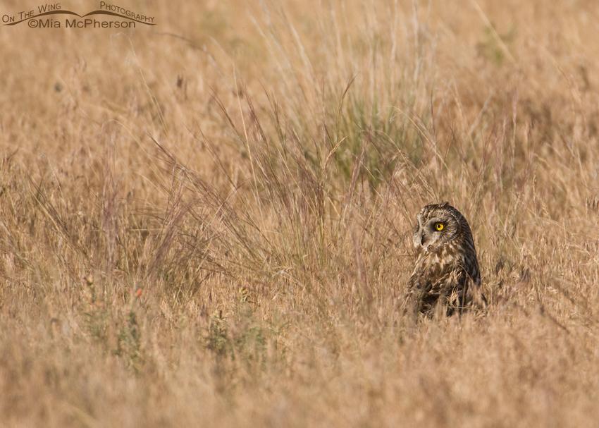 Female Short-eared Owl in grasses
