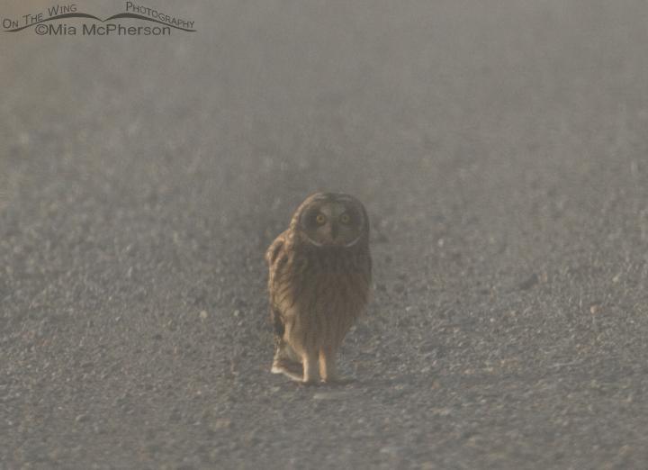 Short-eared Owl female in a fog