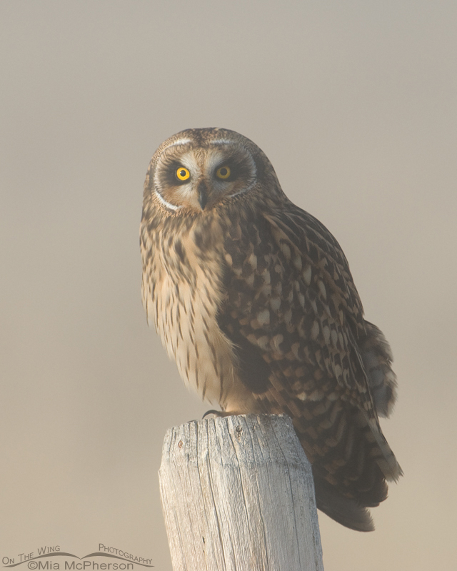 Female Short-eared Owl head on