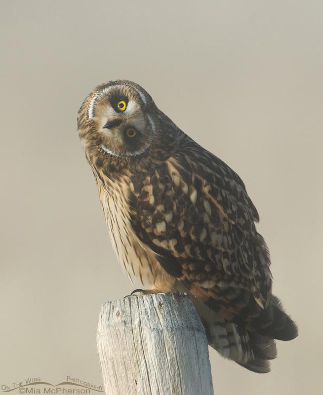 Female Short-eared Owl parallaxing