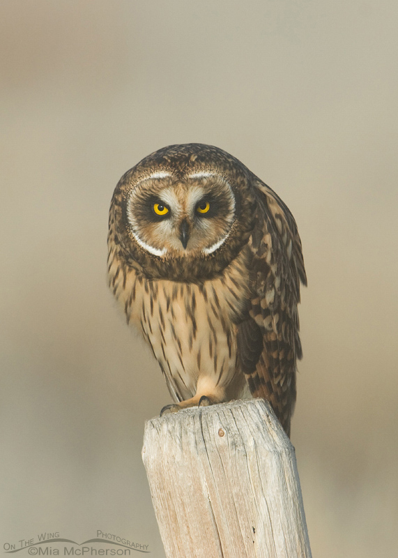 Female Short-eared Owl staring