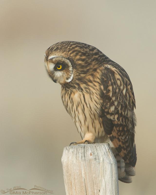 Female Short-eared Owl looking down