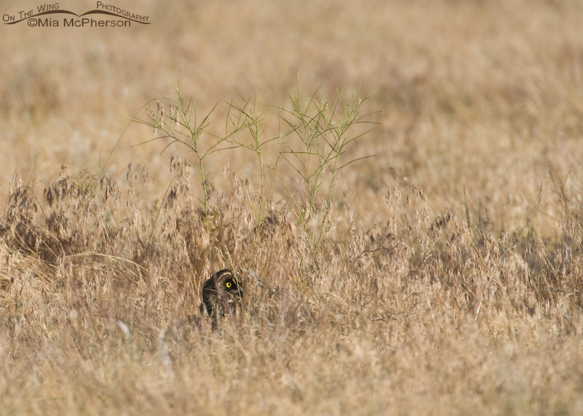 Hidden Juvenile Short-eared Owl