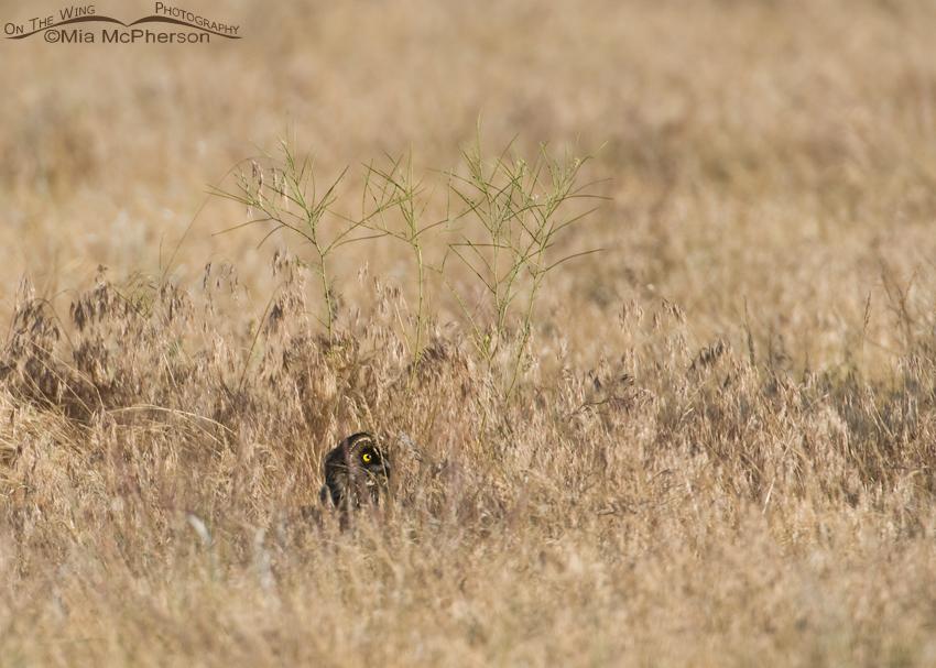 Hidden Juvenile Short-eared Owl